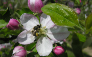 Bee on a blossom of apple