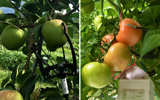 Smart Dendro: Apple and Tomatoe