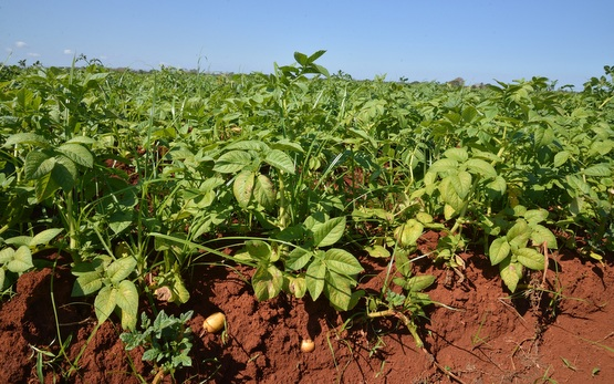 Pesticide Residues in Cuban and Swiss Potato Production