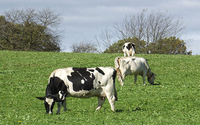 Posieux ruminants black and white in a pasture