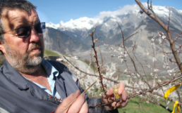 Developing Apricot and Pear Varieties
