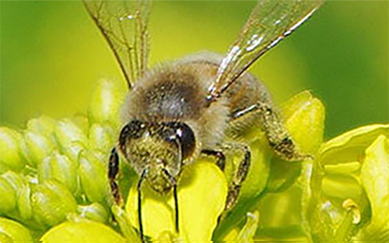 Hazards of Pesticides to Bees Biene