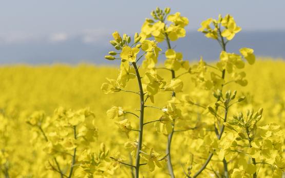 Colza d'automne: variétés recommandées pour la récolte 2022
