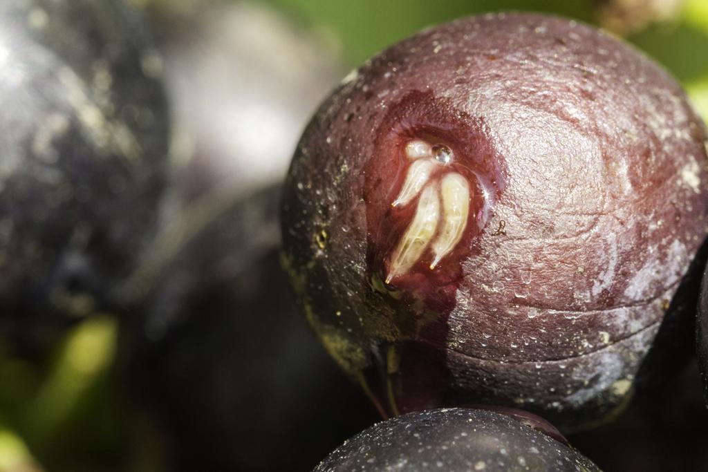 Comment freiner les envies de fruits d une mouche for Fliegen larve