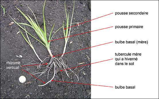 souchet-phase-vegetative