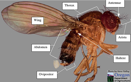 Drosophila-Suzukii-identification